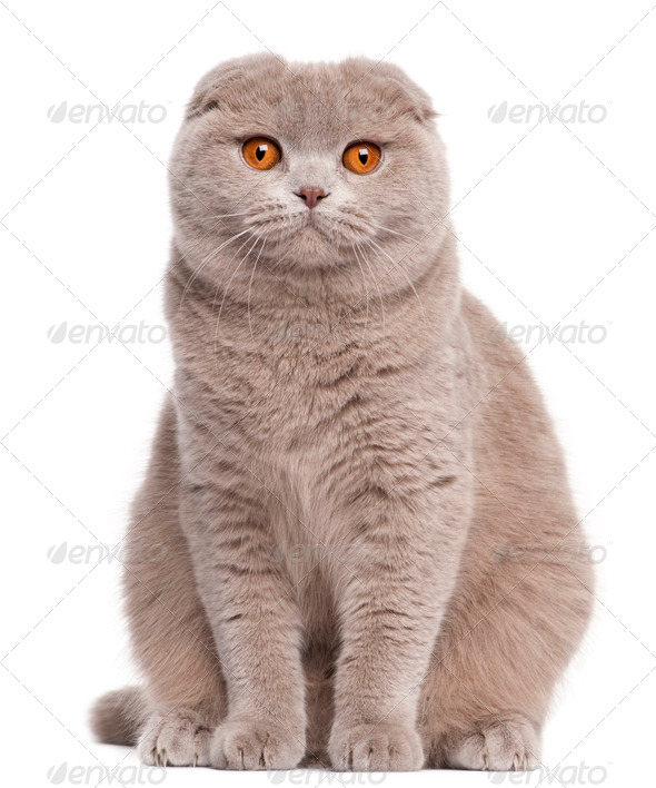Scottish Fold cat, 9 and a half months old, sitting in front of white background - Stock Photo - Images
