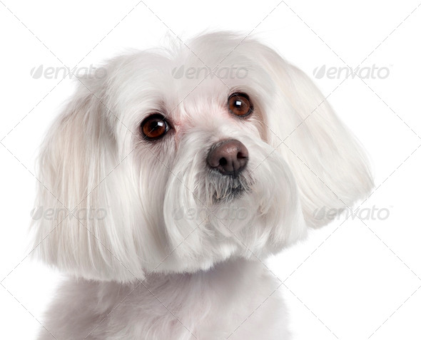 Close-up of Maltese, 7 years old, in front of white background - Stock Photo - Images