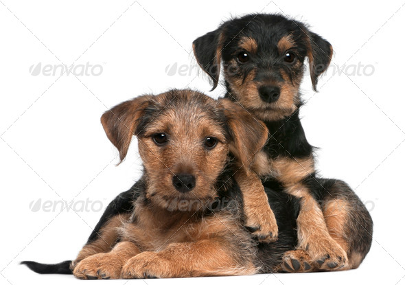 Mixed breed puppies, 8 weeks old, in front of white background - Stock Photo - Images