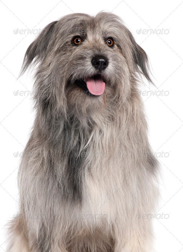 Pyrenean Shepherd dog, 18 months old, sitting in front of white background - Stock Photo - Images