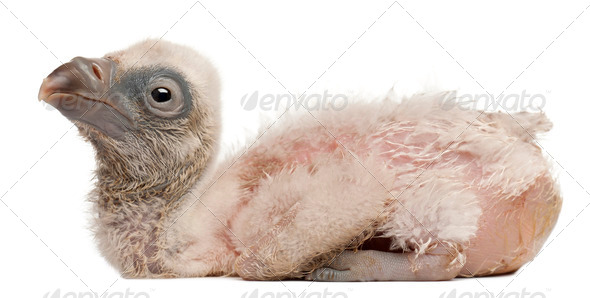 Griffon Vulture, Gyps fulvus, 4 days old, in front of white background - Stock Photo - Images