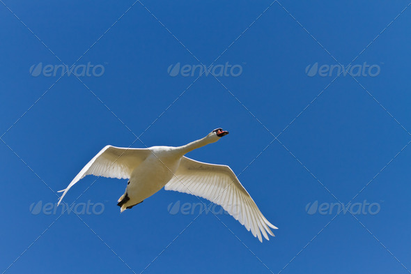 white swan - Stock Photo - Images