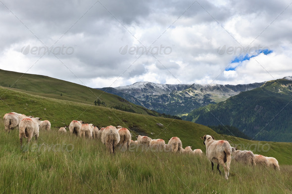flock of sheep - Stock Photo - Images