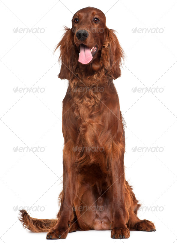 Irish Setter, 1 year old, sitting in front of white background - Stock Photo - Images