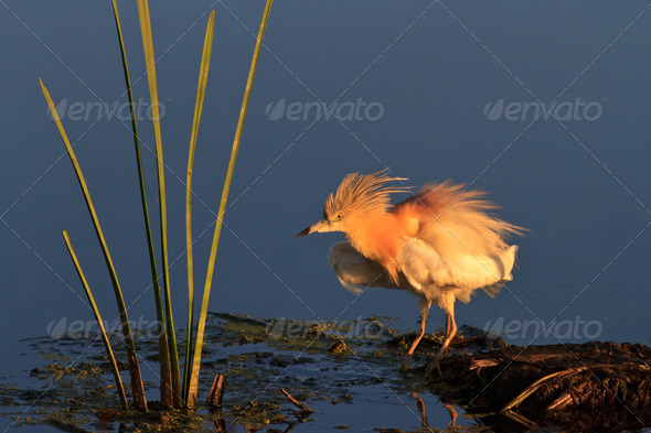 Squacco Heron (Ardeola ralloides)  - Stock Photo - Images