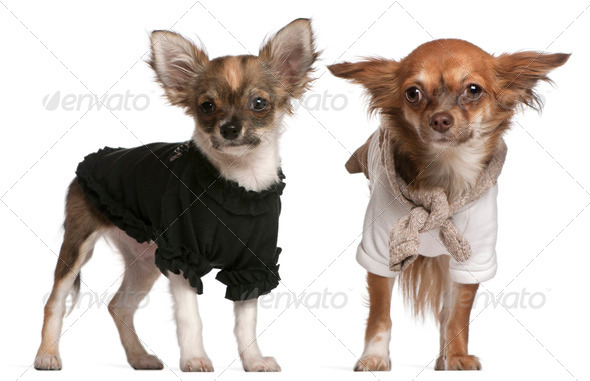 Chihuahua puppies, dressed up, 3 months old and 10 months old, standing in front of white background - Stock Photo - Images