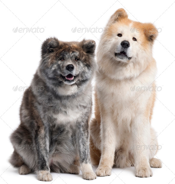 Akita Inu, 7 years old and 4 years old, sitting in front of white background - Stock Photo - Images