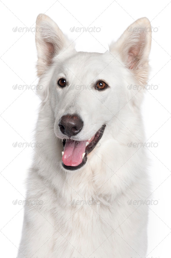 Close-up of Berger Blanc Suisse, 2 years old, in front of white background - Stock Photo - Images