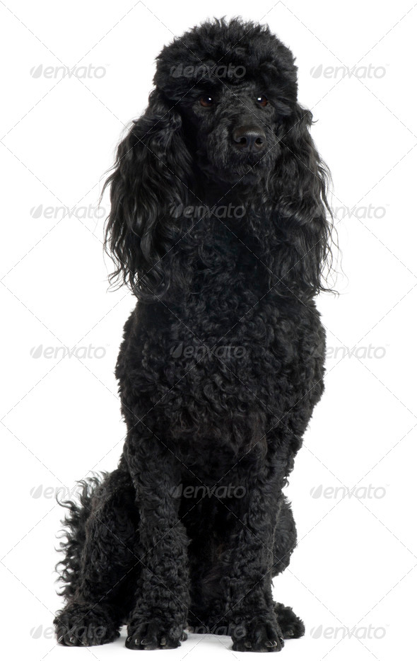 Poodle, 18 months old, sitting in front of white background - Stock Photo - Images