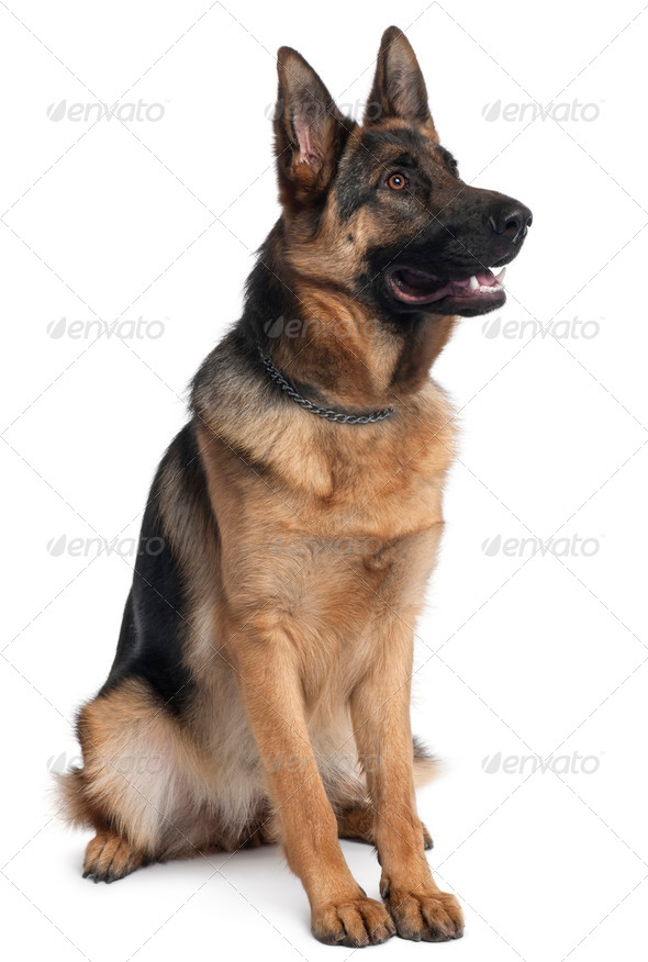 German Shepherd dog, 10 months old, sitting in front of white background - Stock Photo - Images