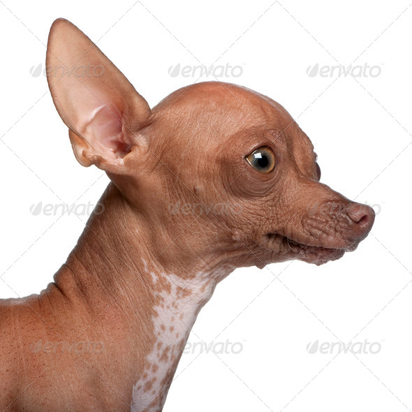 Close-up of Chihuahua, 6 months old, in front of white background - Stock Photo - Images