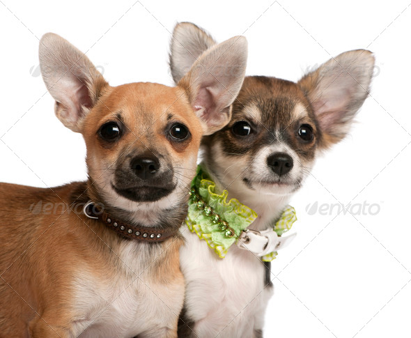 Close-up of Chihuahua puppies, 3 months old, in front of white background - Stock Photo - Images