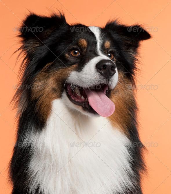 Australian Shepherd (2 years old) - Stock Photo - Images