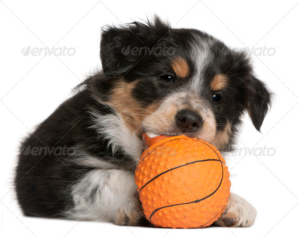 Border Collie puppy playing with toy basketball, 6 weeks old, in front of white background - Stock Photo - Images