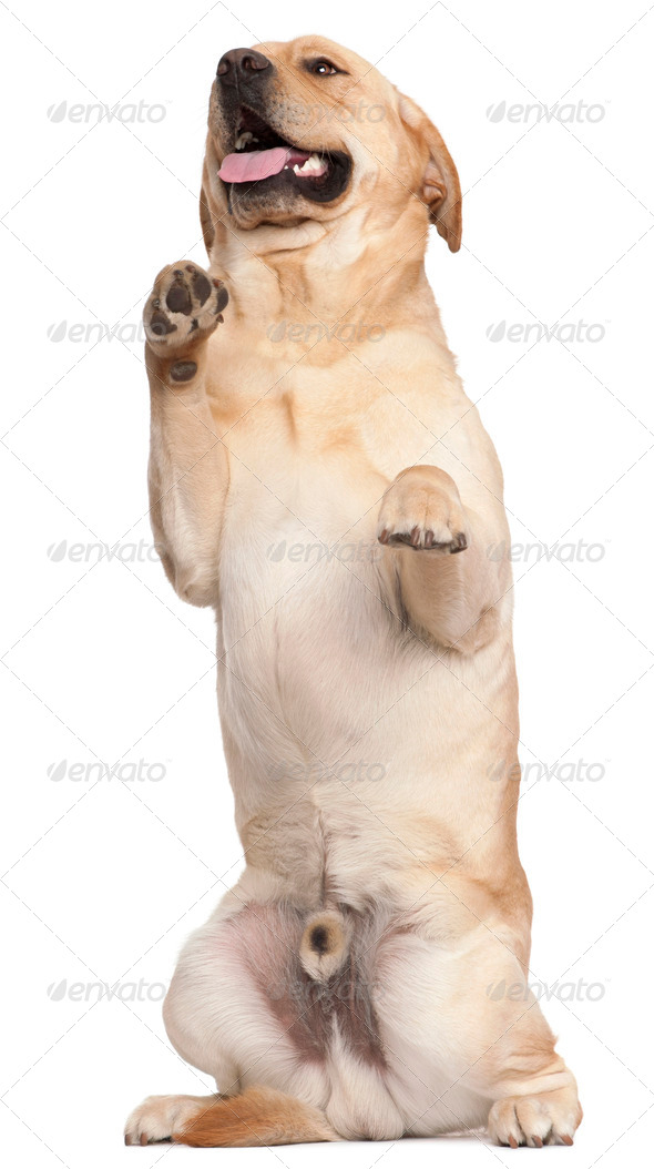 Labrador Retriever standing on hind legs, 2 years old, in front of white background - Stock Photo - Images