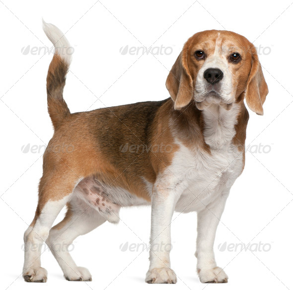 Beagle, 8 years old, standing in front of white background - Stock Photo - Images