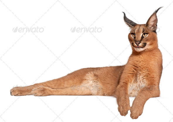Caracal, Caracal caracal, 6 months old, lying in front of white background - Stock Photo - Images