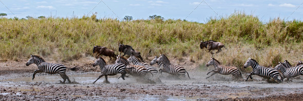 Zebra crossing a river in Serengeti National Park, Tanzania, Africa - Stock Photo - Images