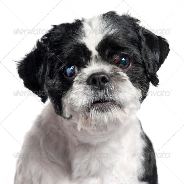 Close-up of Shih Tzu, 4 years old, in front of white background - Stock Photo - Images