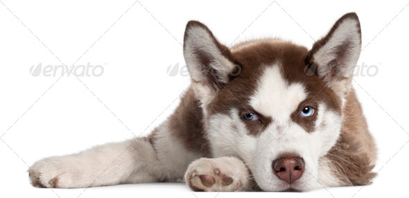 Siberian Husky puppy, 5 months old, lying in front of white background - Stock Photo - Images