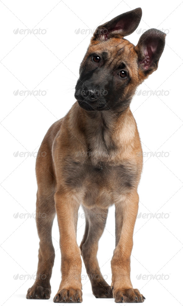 Belgian Shepherd puppy, 3 months old, standing in front of white background - Stock Photo - Images
