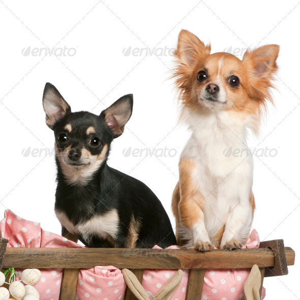 Chihuahuas, 14 months old, sitting in dog bed wagon in front of white background - Stock Photo - Images