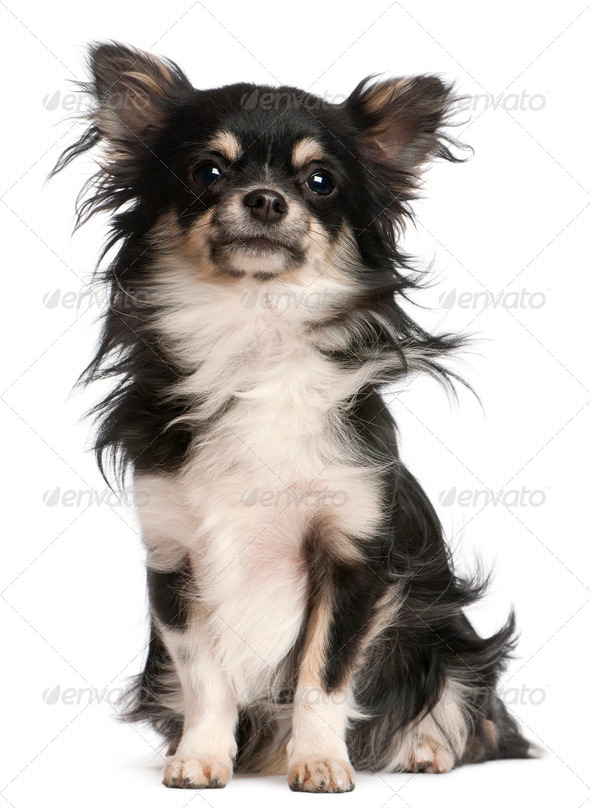 Chihuahua, 5 years old, sitting in front of white background - Stock Photo - Images