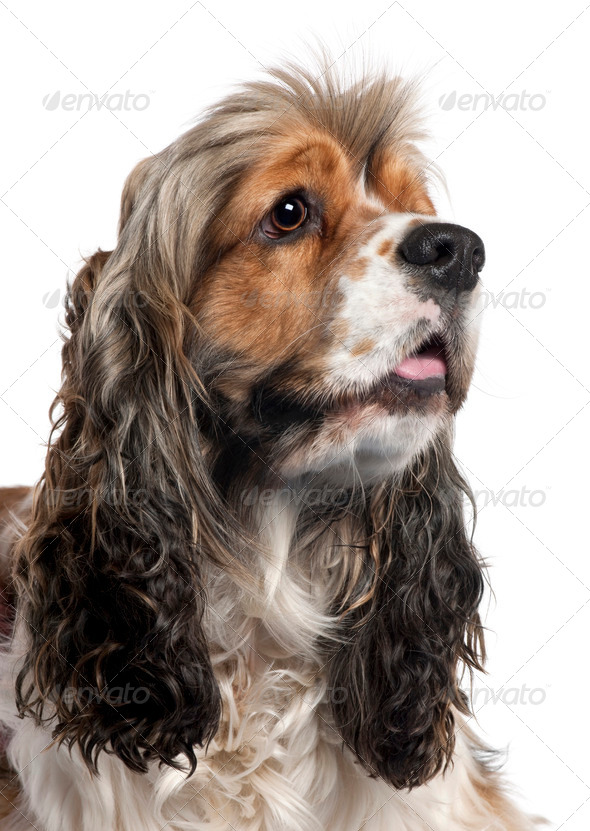 Close-up of American Cocker Spaniel, 1 year old, in front of white background - Stock Photo - Images