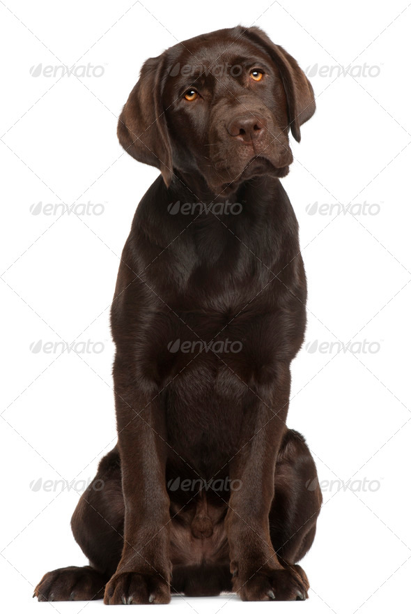 Labrador Retriever puppy, 5 months old, sitting in front of white background - Stock Photo - Images