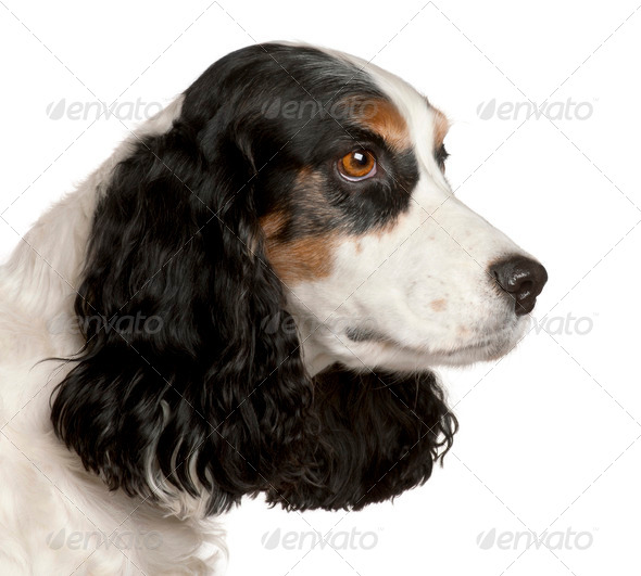 Close-up of English Cocker Spaniel, 6 years old, in front of white background - Stock Photo - Images