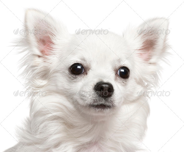 Close-up of Chihuahua, 7 months old, in front of white background - Stock Photo - Images