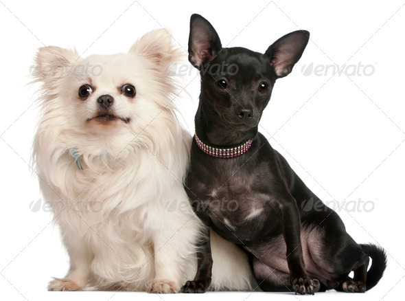 Chihuahuas, 8  years old and 7 months old, sitting in front of white background - Stock Photo - Images