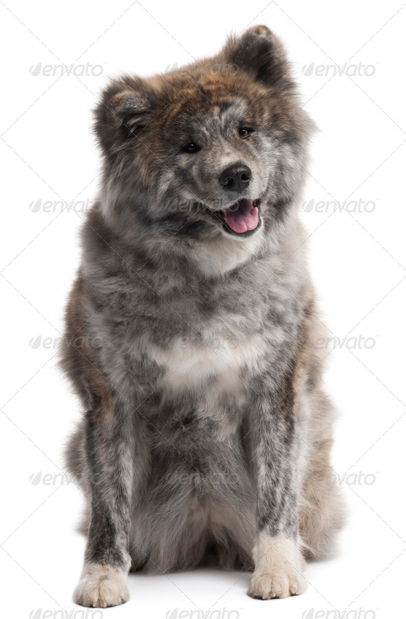Akita Inu, 7 years old, sitting in front of white background - Stock Photo - Images