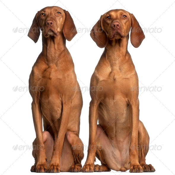 Vizslas, 5 and 2 years old, sitting in front of white background - Stock Photo - Images