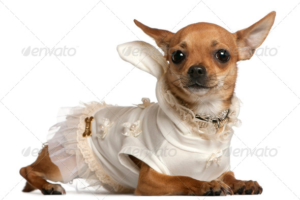 Chihuahua wearing dress, 1 year old, lying in front of white background - Stock Photo - Images