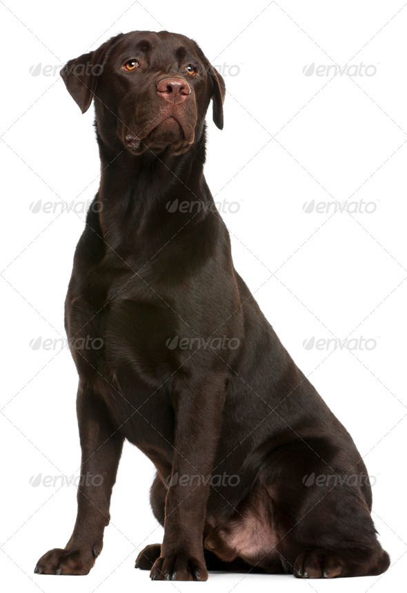 Labrador Retriever, 9 months old, sitting in front of white background - Stock Photo - Images