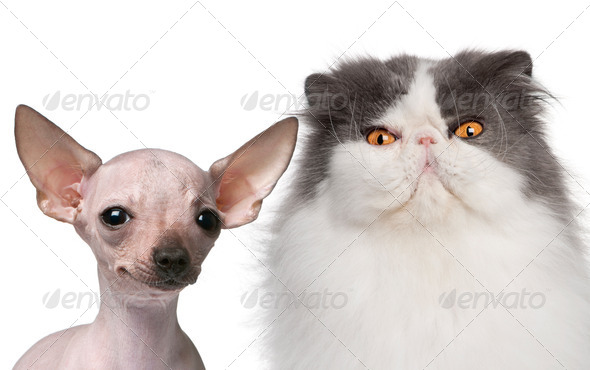 Hairless Chihuahua, 5 months old and a Persian cat, 9 years old, in front of white background - Stock Photo - Images