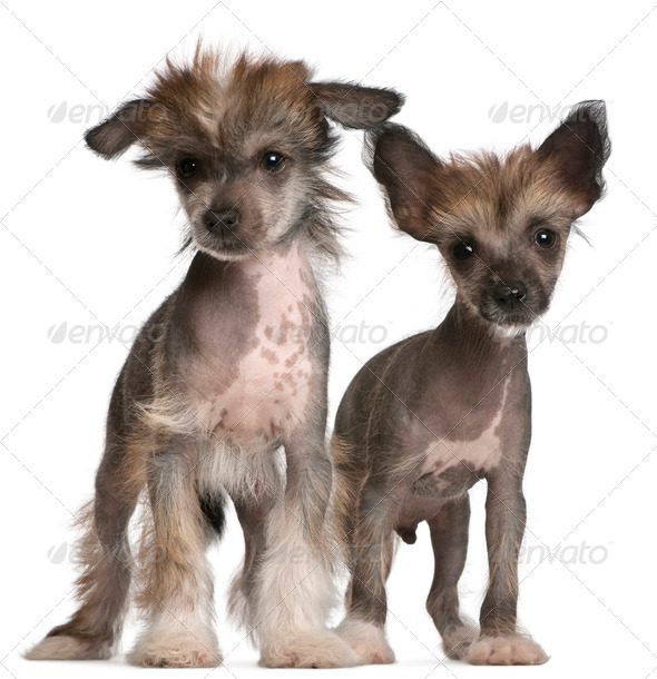 Chinese Crested Dog puppies, 2 months old, standing in front of white background - Stock Photo - Images