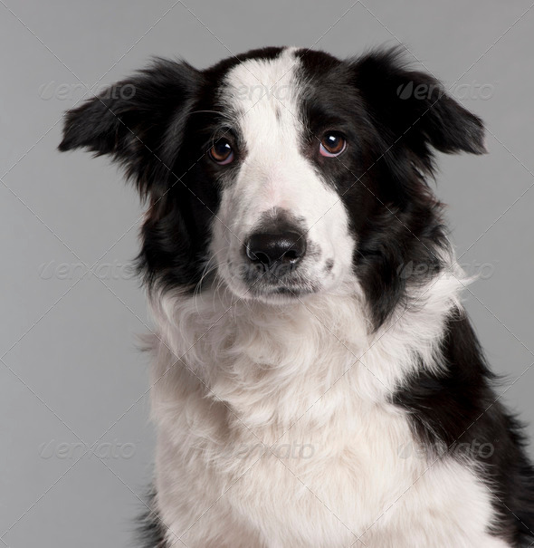 Border Collie (7 months old) - Stock Photo - Images