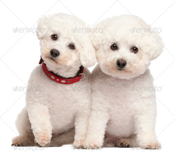 Bichon Fris?©, 9 and 7 years old, in front of white background - Stock Photo - Images