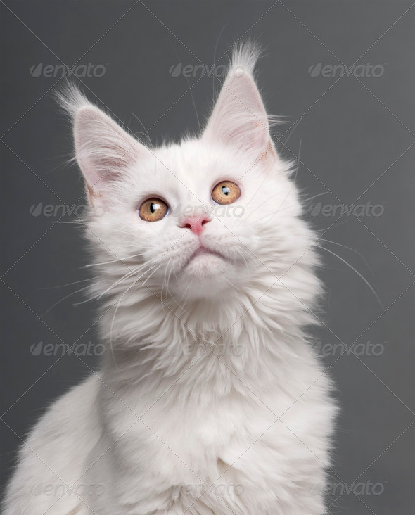 Maine Coon (5 months old) - Stock Photo - Images