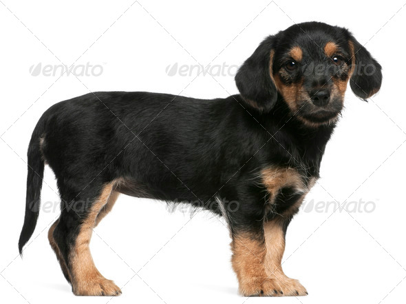 Mixed breed puppy standing in front of white background - Stock Photo - Images