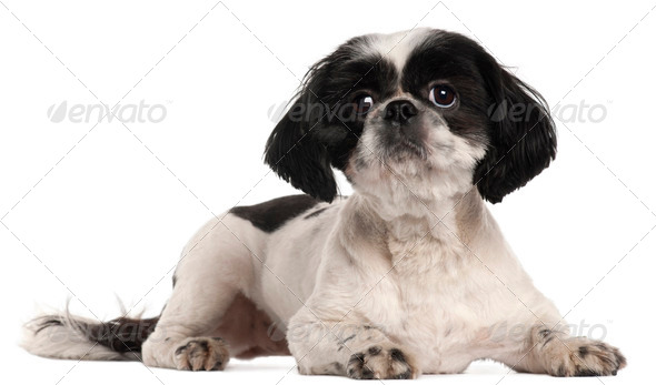 Shih Tzu, 2 years old, lying in front of white background - Stock Photo - Images