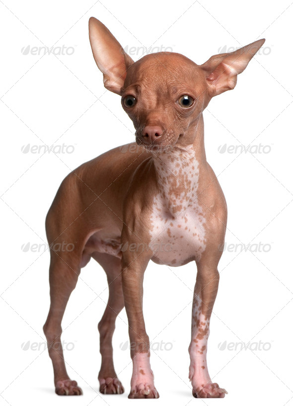 Chihuahua, 6 months old, standing in front of white background - Stock Photo - Images