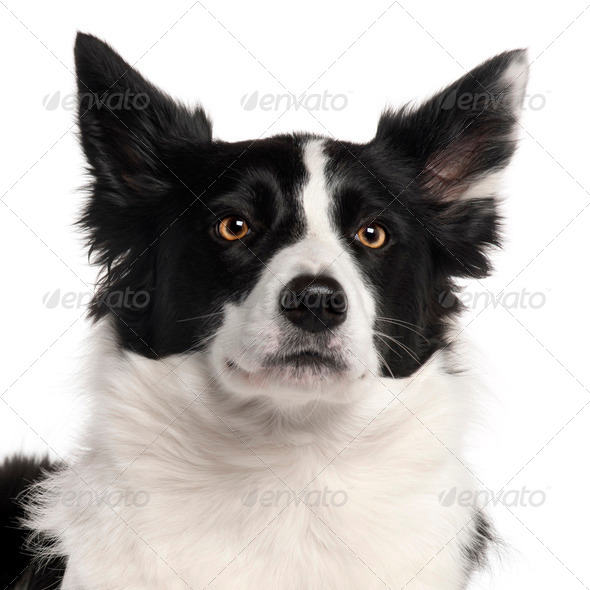 Close-up of Border Collie, 3 years old, in front of white background - Stock Photo - Images