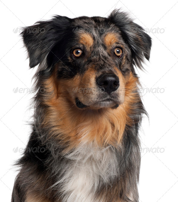 Close-up of Australian Shepherd dog, 6 months old, in front of white background - Stock Photo - Images