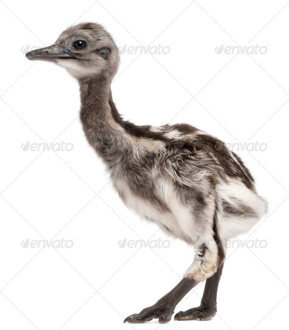 Darwin's Rhea, Rhea pennata, also known as the Lesser Rhea, 1 week old, in front of white background - Stock Photo - Images