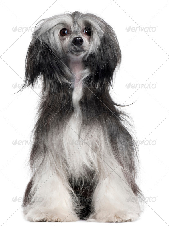 Chinese Crested Dog, 15 months old, sitting in front of white background - Stock Photo - Images