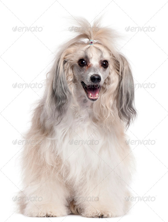 Chinese Crested Dog, 3 years old, in front of white background - Stock Photo - Images