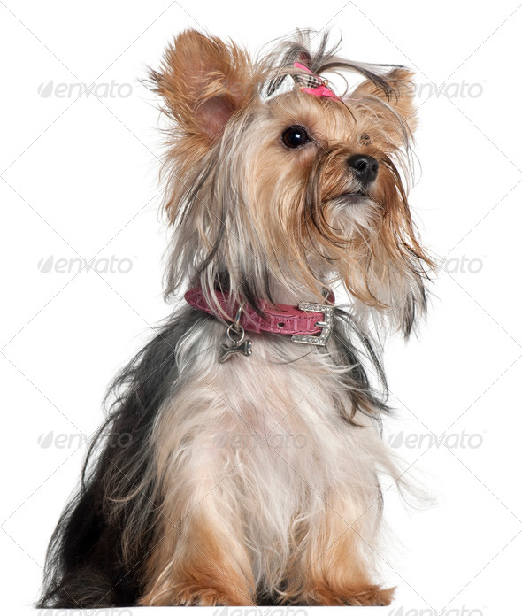 Yorkshire Terrier, 9 months old, sitting in front of white background - Stock Photo - Images